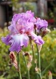 Irisgartenblume, die im Garten blüht, Stockbild