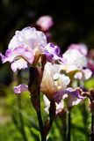 Irisgartenblume, die im Garten blüht Lizenzfreie Stockfotografie