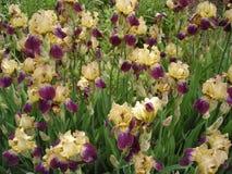 Irisguling- och violetblommor Fotografering för Bildbyråer