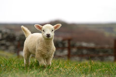 Irish baby sheep. Running on the grass Royalty Free Stock Photo