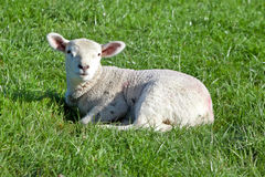 Irish baby sheep Stock Photos