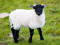 Irish baby sheep. On the meadow Stock Photo