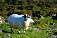 Irish black face sheep Royalty Free Stock Photos