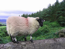 Irish Black-Faced Ram. An Irish mountain ram standing on top a stone bridge on the way up to The Vee.  Valley in the background with an intensely overcast sky Stock Image