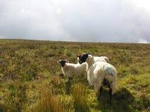 Irish black faced sheep. Stock Photo