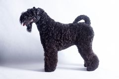 Irish blue terrier is standing on a white background. Pet animals. royalty free stock photo