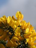 Yellow Blossoms. Irish Broom/Genista flowering, and a bug is visiting Royalty Free Stock Photo