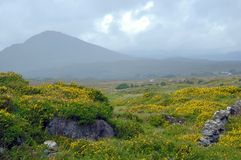 Irish Broom Landscape Royalty Free Stock Images