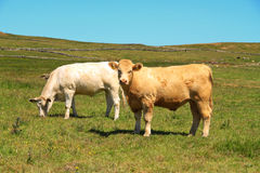 Irish bulls Stock Images