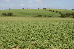 Irish cabbage farm. Growing cabbage is a simple sign in ireland of the end of the summer Stock Photography
