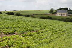 Irish cabbage farm stock photo