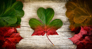 Irish Canadian Flag Art Concept. Irish-Canadian conceptual piece constructed out of real leaves depicting a blend of Irish and Canadian flag colours with maple stock photos