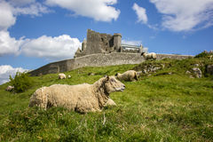 Irish castle with a cheep Royalty Free Stock Image
