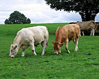 Irish Cattle Royalty Free Stock Image