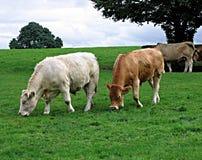 Irish Cattle. Graze the hills at the Irish National Stud in County Kildare in Ireland Royalty Free Stock Image
