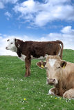 Irish cattle feeding on the green grass Stock Images