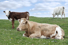 Irish cattle feeding on the lush green grass Royalty Free Stock Image