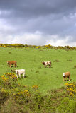 Irish cattle grazing in a field on a hill. Cattle grazing in a field on a hill in the irish countryside Stock Image