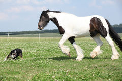 Irish cob with border collie Stock Photo