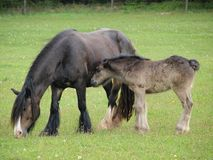 Irish Cob with foal in the pasture Royalty Free Stock Image