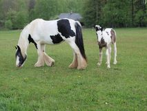 Irish Cob with foal in the pasture Stock Image
