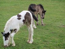 Irish Cob foals on pasture, South Bohemia. Czech Republic Royalty Free Stock Images