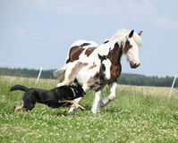 Irish cob mare runaway from the dog Royalty Free Stock Photo