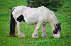 Irish Cob in the pasture Royalty Free Stock Images