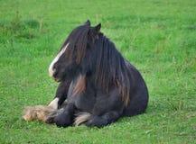 Irish Cob in the pasture Stock Image