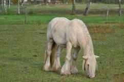Irish Cob in the pasture Royalty Free Stock Photography