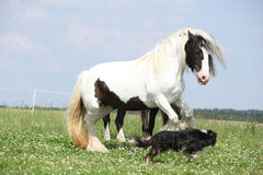 Irish cob playing with border collie Royalty Free Stock Image
