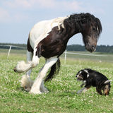 Irish cob playing with border collie Royalty Free Stock Photo