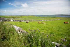 Irish country, landscape view, green grass covered field, stone fences and flowers with cows, next to the sea. Peaceful landscape, green grass covered meadows Royalty Free Stock Image