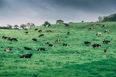 Irish countryside with cows in a pasture on a cloudy day. The Irish countryside with cows in a pasture on a cloudy day Stock Image