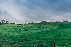 Irish countryside with cows in a pasture on a cloudy day. The Irish countryside with cows in a pasture on a cloudy day Stock Images