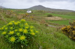 Irish countryside with flowers and house. Irish landscape with cottage, flowers, pastures, and sheep dotting the fields Royalty Free Stock Photos