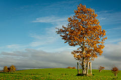 Irish countryside. Lone tree with colorful leaves on bright sunny Autumn day Stock Photos