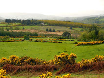 Irish Countryside in the Mists. An Irish countryside after a morning rain with the mist still clinging to the hillsides. Borders of bright yellow Irish Gorse Stock Images