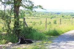 The Irish Countryside. My Collie dog Buddy having a rest under a big tree on a walk in the Irish countryside Stock Images