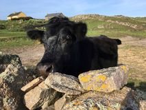 Irish cow Royalty Free Stock Photography
