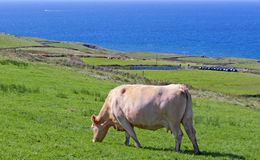 Irish cow on meadow Stock Image