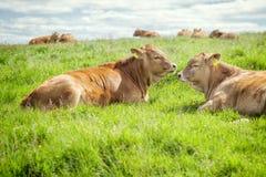 Free Irish Cows Stock Photography - 45988642