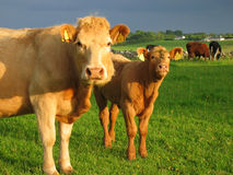Irish cows. In field royalty free stock photography