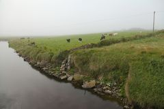 Irish cows in the fog Royalty Free Stock Photos