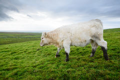 Irish cows grazing Royalty Free Stock Image