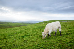 Irish cows grazing. On the grass- image with copy space Royalty Free Stock Photo