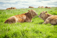 Irish cows Stock Photography
