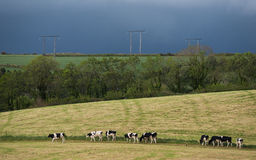 Irish Dairy cows meadow landscape Stock Images