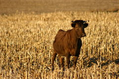 Irish Dexter Cow Stock Image