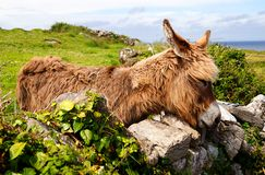 Irish Donkey Stock Photo
